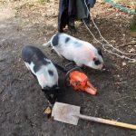 Ein neues Gehege für die Schweinedamen